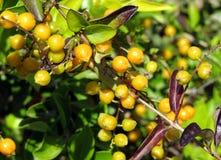Yellow fruits Stock Photo