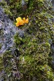 Fungal fruiting bodies. The yellow fungal fruiting bodies in green moss stock photos