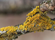 Yellow funghi on a tree close-up Royalty Free Stock Photography
