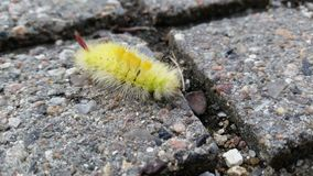 Yellow furry caterpillar Royalty Free Stock Images