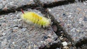Yellow furry caterpillar Royalty Free Stock Images