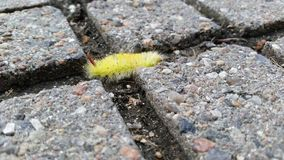 Yellow furry caterpillar Stock Images