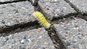 Yellow furry caterpillar Royalty Free Stock Photo