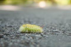 Yellow furry caterpillar crawls on grey asphalt. Macro stock photo