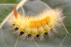 Yellow furry caterpillar Royalty Free Stock Photography