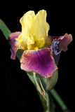 Yellow and Fuschia Bearded Iris on Black Stock Photography