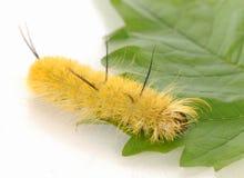Free Yellow Fuzzy Caterpillar Royalty Free Stock Photography - 11269487