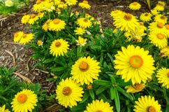 Yellow Gaillardi grandiflora flower in a spring season at a botanical garden. stock photos