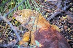 Yellow Galapagos Land Iguana Stock Photos