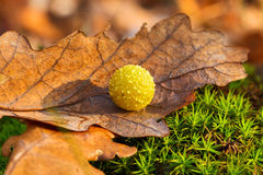 Yellow gall on dry oak leaf Stock Photos
