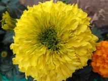 yellow gandha Royalty Free Stock Photo