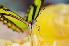 Yellow Garden Butterfly Stock Image