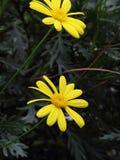 Yellow Garden chrysanthemum (Argyranthemum frutescens) Stock Photos