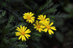 Yellow Garden chrysanthemum (Argyranthemum frutescens). With dark green background stock photography