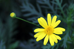 Yellow Garden chrysanthemum (Argyranthemum frutescens). With dark green background stock images