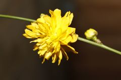 Yellow garden flower on branch. Yellow flower on branch with a dark background hardy perennial bush Stock Photo