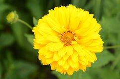 Yellow Garden Flower Stock Photos