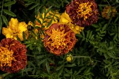 Yellow garden flower top view Royalty Free Stock Images