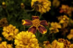 Yellow garden flower top view Royalty Free Stock Image
