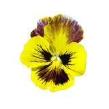 Yellow garden flower on a white background Royalty Free Stock Photography