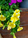 Yellow garden flower. Summer pansy stock image
