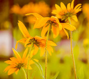 Yellow garden flowers Royalty Free Stock Photo
