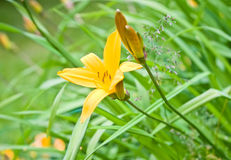 Yellow Garden lily Royalty Free Stock Photography