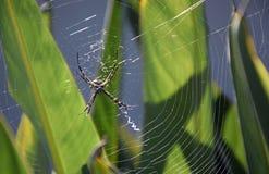 Yellow garden orb-weave spider Stock Photos