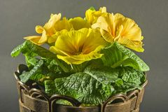Yellow primerose Royalty Free Stock Images
