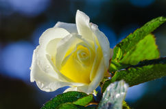 Yellow garden rose with morning dew Royalty Free Stock Photo