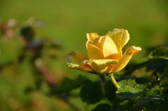A yellow garden rose after the rain. Covered with raindrops isolated towards a green background royalty free stock photography