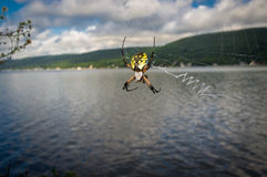 Yellow Garden Spider Royalty Free Stock Photography