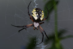 Yellow Garden Spider Stock Photos