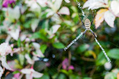 Yellow Garden Spider. Hangs at the center of its web while waiting for food to come Royalty Free Stock Photo