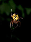 Yellow Garden Spider at Night Royalty Free Stock Images