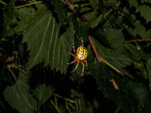 Yellow Garden Spider at Night Stock Photos