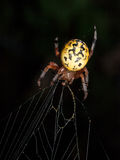 Yellow Garden Spider at Night Royalty Free Stock Image