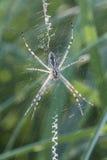 Yellow garden spider Stock Photo