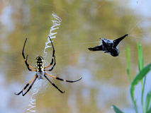 Yellow garden spider on a web with prey Stock Image