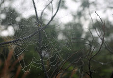 Yellow garden spider. On wet web Stock Images