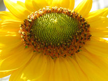 Yellow Garden Sunflower in Bloom Royalty Free Stock Images