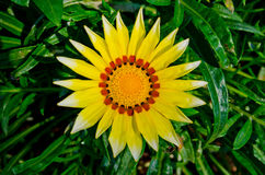 Yellow Gasania In Bloom Show In Royal Flora 2011. Royalty Free Stock Photography