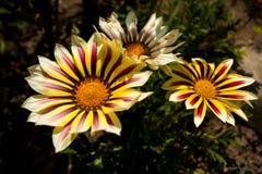 Yellow Gazania. In nature close up Stock Photo