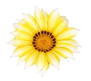 Yellow Gazania Royalty Free Stock Photo