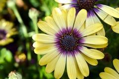 Yellow Gazania. This beauty is in flower garden Stock Photo
