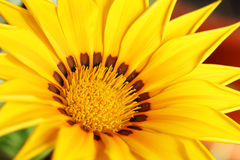 Yellow gazania Stock Photos