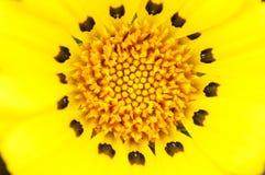 Yellow Gazania. A closeup of a yellow Gazania flower Royalty Free Stock Photos