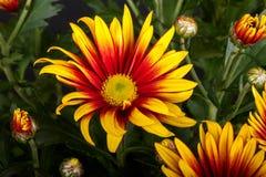 Yellow gazania daisy Stock Image