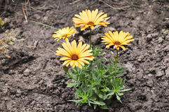 Yellow gazania flower bouquet in garden Stock Photos
