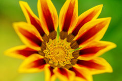 Yellow Gazania flower close up Stock Photos